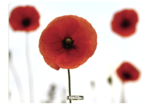 Brite Mat rettangolari - Papaveri__Poppies_MouseMat_58057_F.png